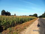 Vot takaya kukuruza rastet zdes. d. Kruglyany